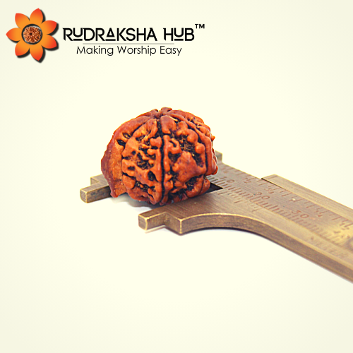 Ganesha Rudraksha with the Lord Ganesha's Trunk like structure protruding out of one of the Mukhs of Rudraksha.