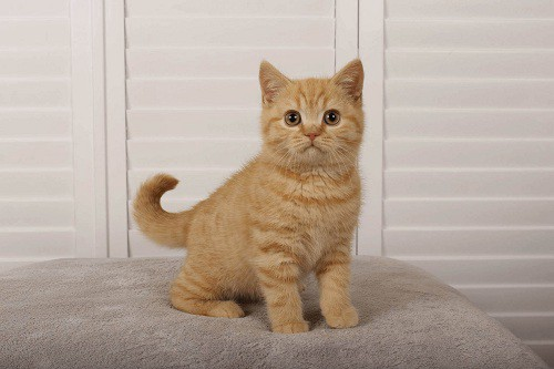 Things you should know about the British shorthair kittens