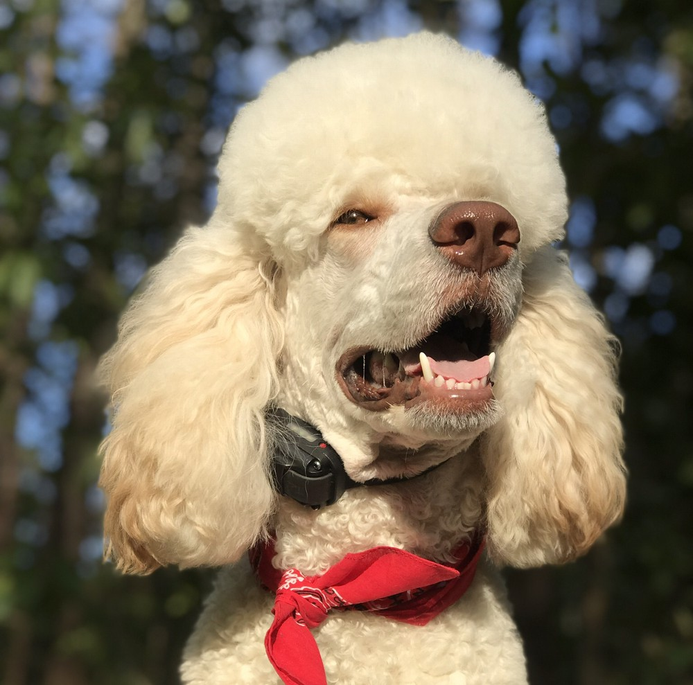 Standard poodle with an e-collar on by Ecollar Technologies.