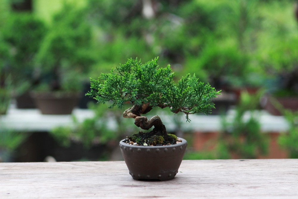 Definition And Meaning Of Bonsai Increasing In Size By Nicole Lona Medium