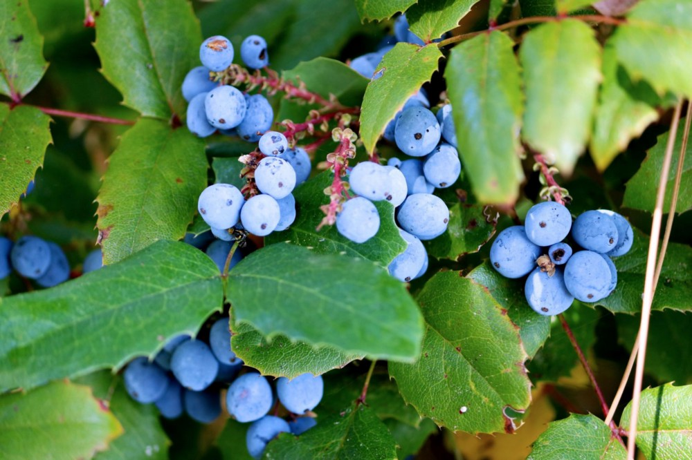 Clusters of Oregon grapes peek out from among their sturdy foliage