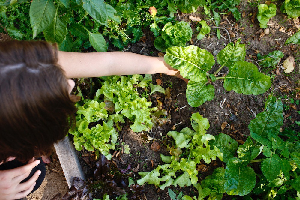 Woman planing chard into a raised bed