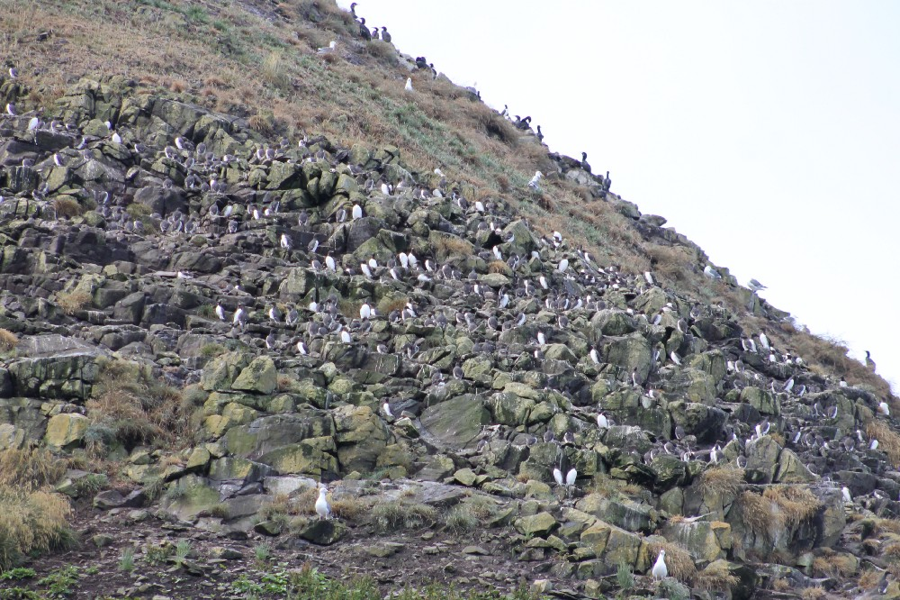The offshore seastacks and islands, which comprise Oregon Islands National Wildlife Refuge, is home to 1.3 million seabirds, including common murres, tufted puffins, black oystercatchers, western gulls, pigeon guillemots. Photo by Brent Lawrence / USFWS