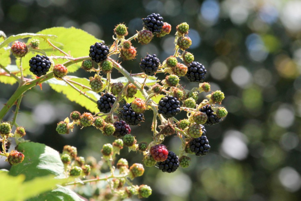 Himalayan blackberries ripen at the end of a cane.