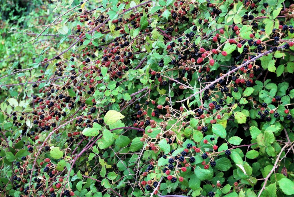 A trailing blackberry bramble loaded with berries