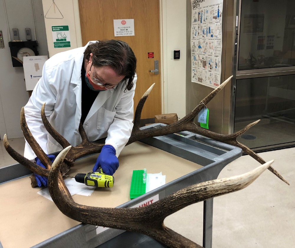 Brian Hamlin, a forensics scientist in the genetics section at the Service's Forensics Laboratory in Ashland, Oregon, uses a drill to extract DNA samples from a set of antlers from a bull elk that was poached in Crater Lake National Park. Photo by Kathy Spengler / USFWS