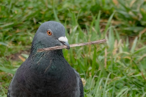 A profile of a pigeon holding a stick in its bill, on a grassy background.