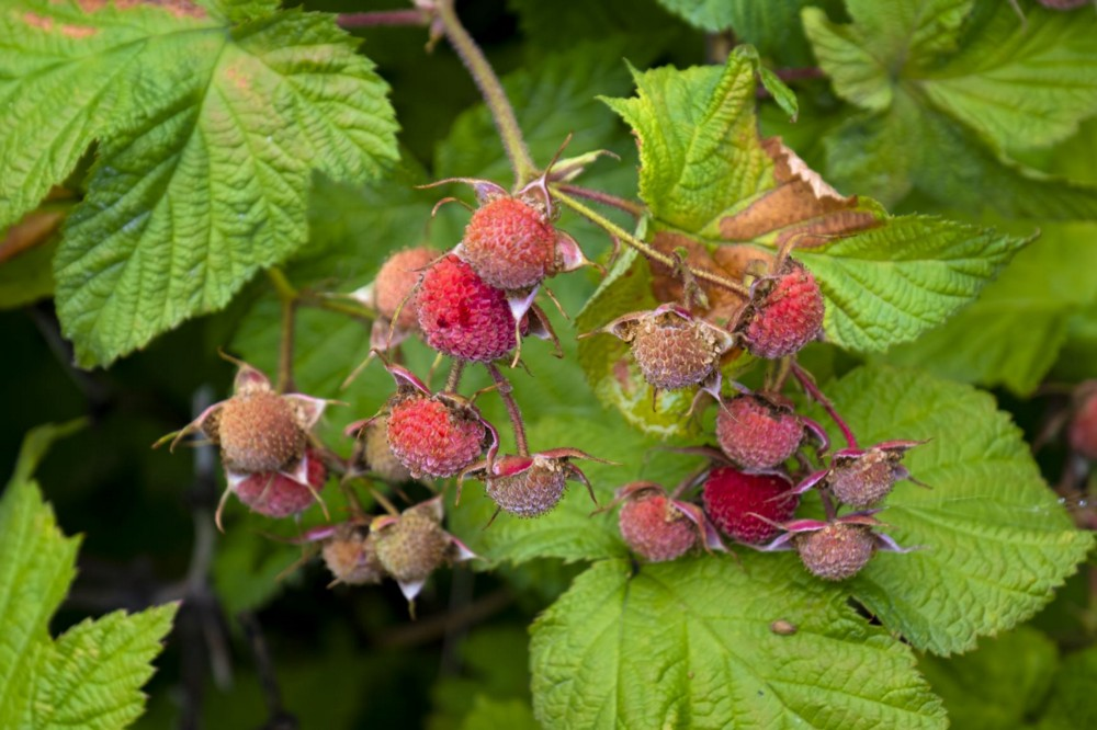 A cluster of thimbleberries getting closer to being ready to pick