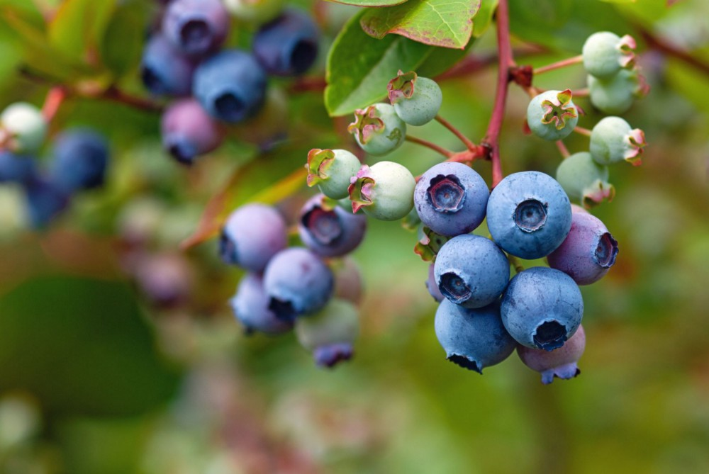 A cluster of blue huckleberries ready to be picked