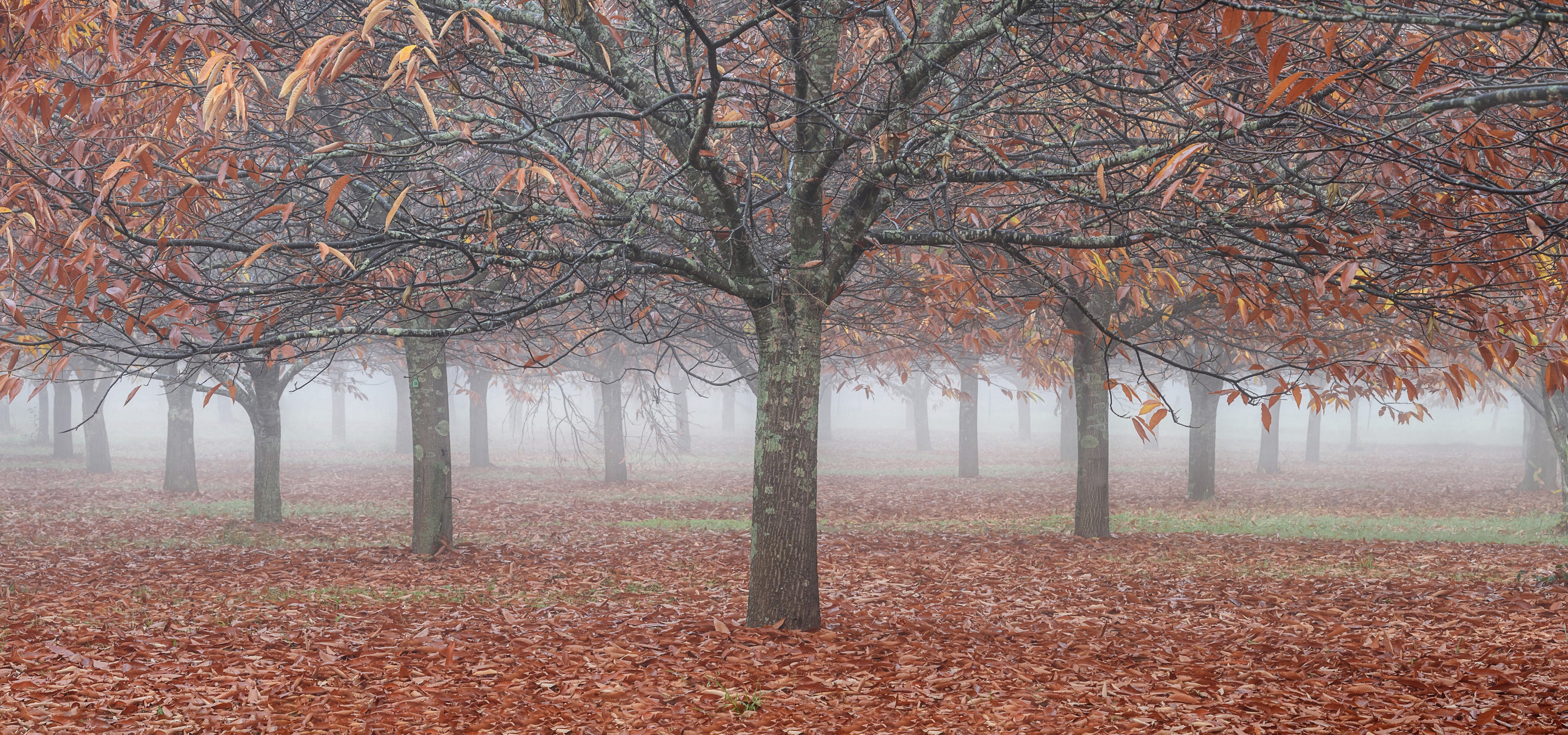 a large tree with outstretched branches is mostly leafless, with a carpet of red and orange leaves covering the ground