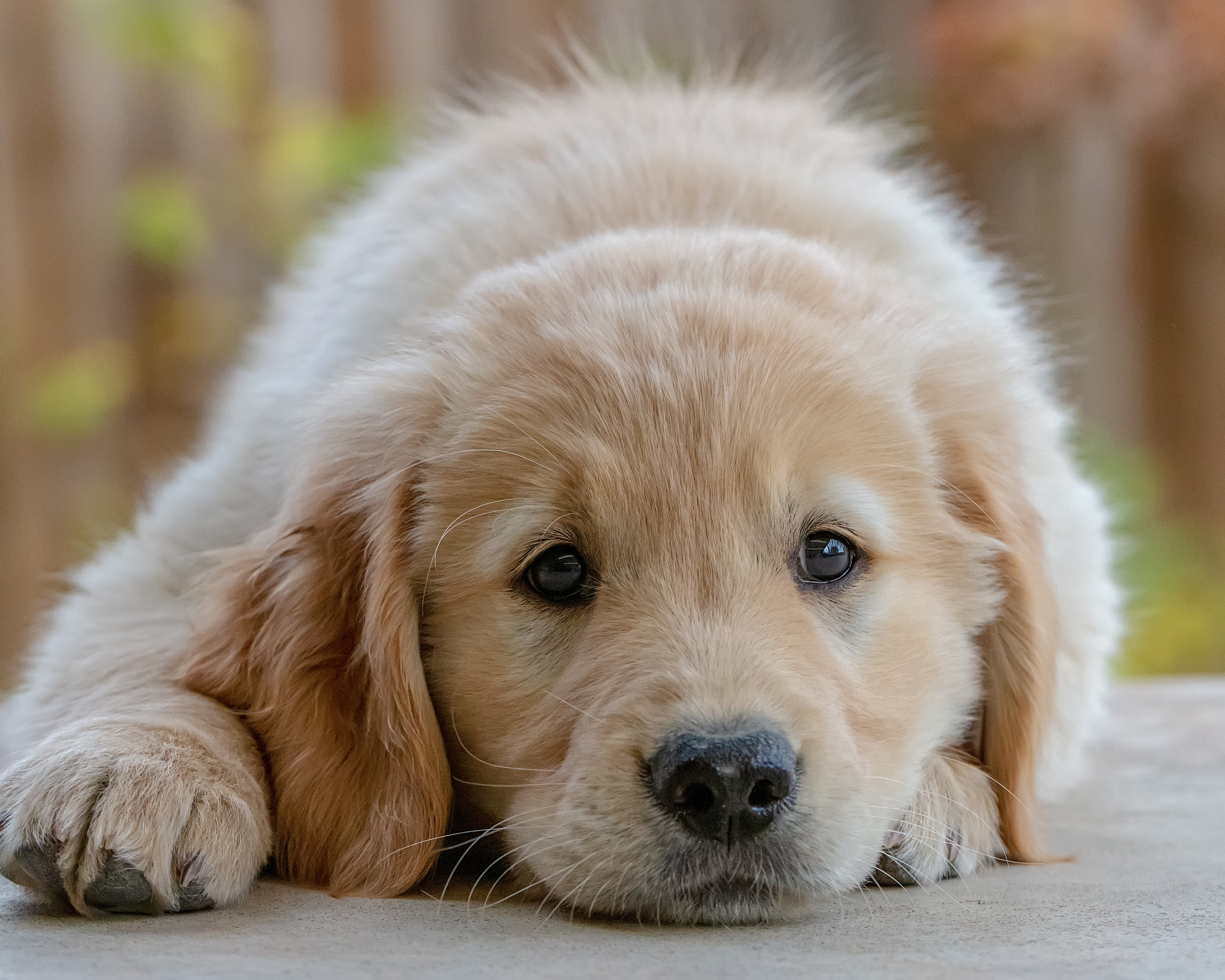 Golden retriever puppy laying down facing the camera with a sad look in his eyes