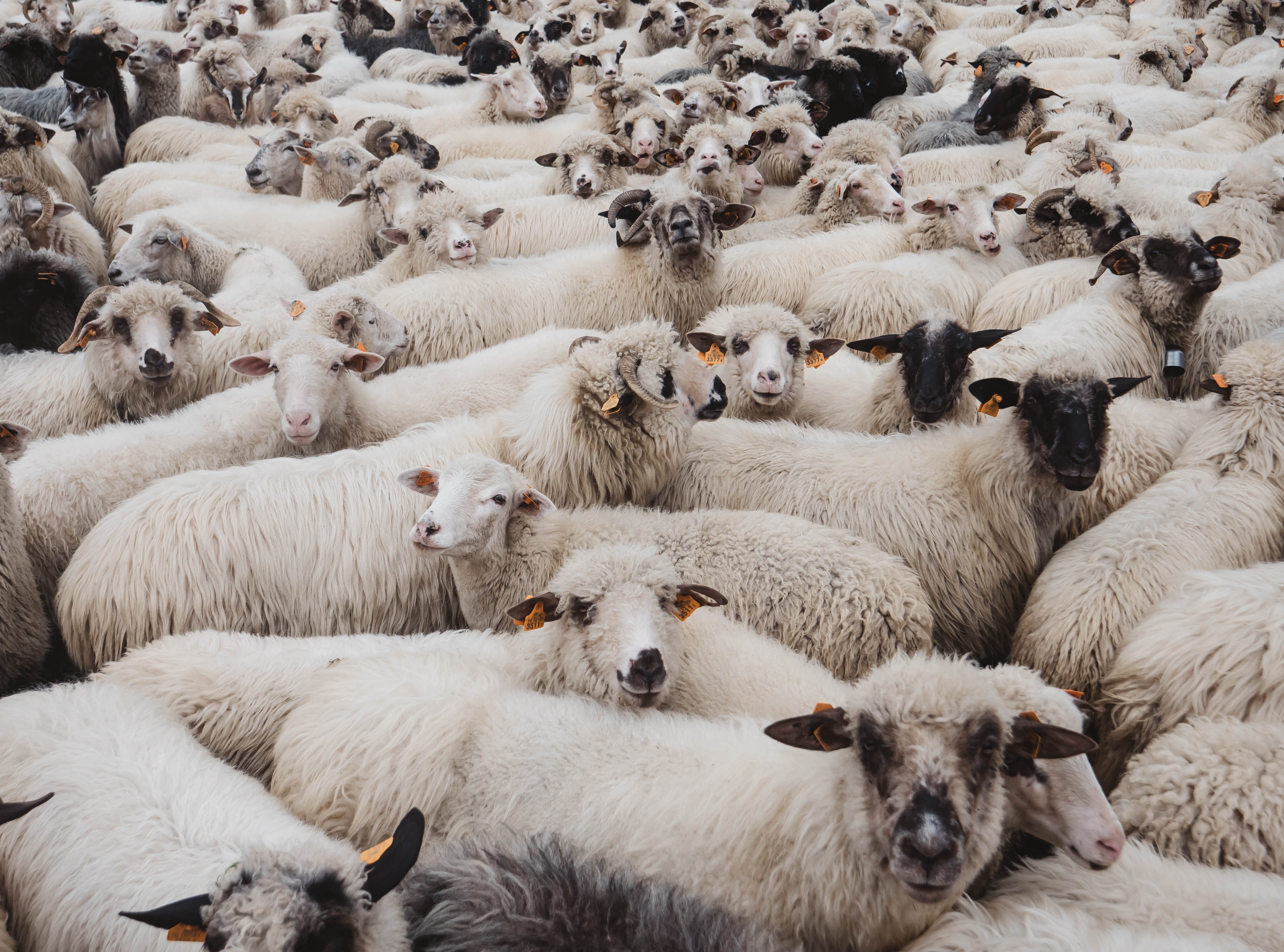 A group of identical sheep crowded together.