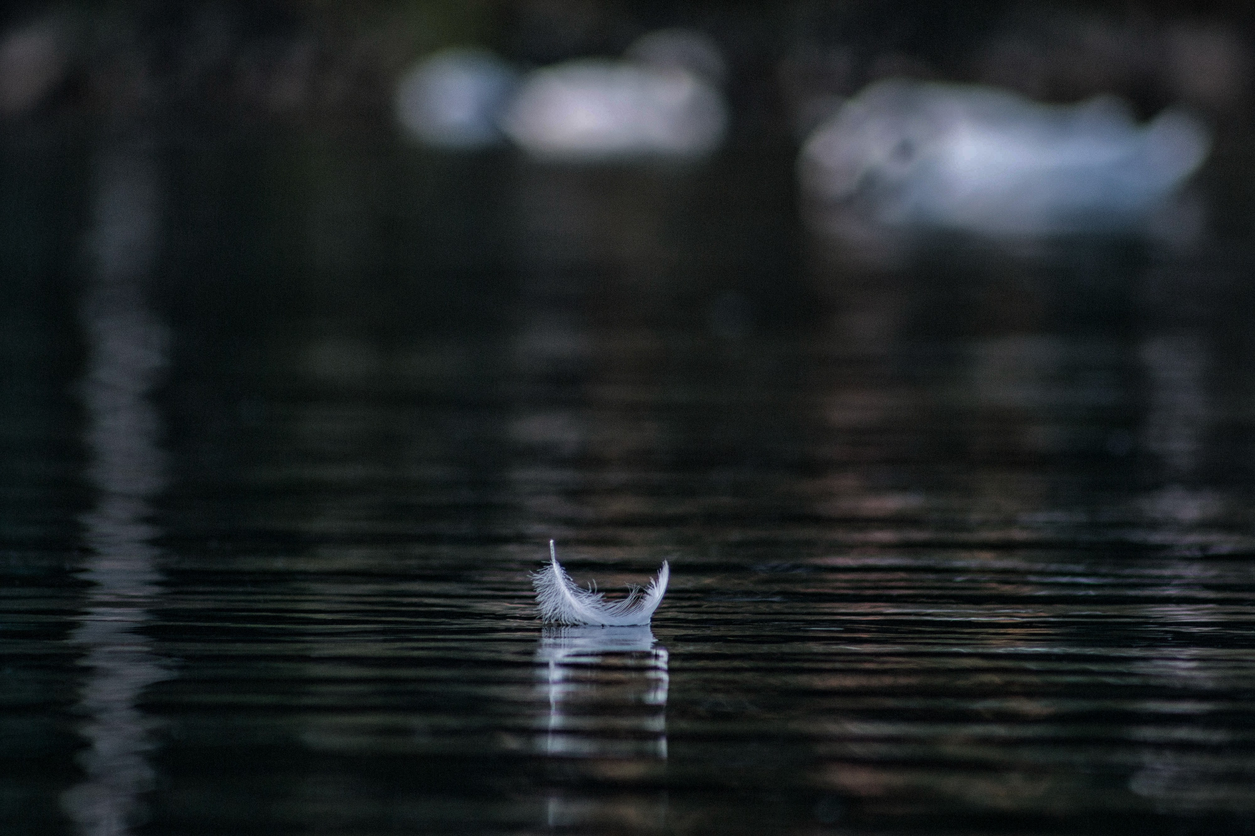 A white feather floating on some black water, with white swans in the background