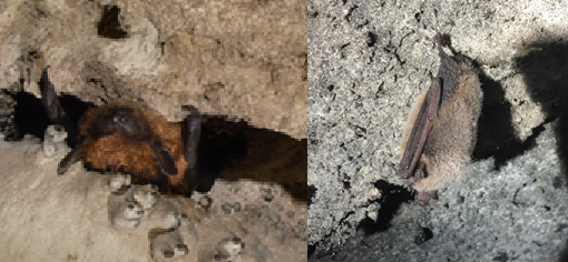 2 photos of single bat upside down in cave