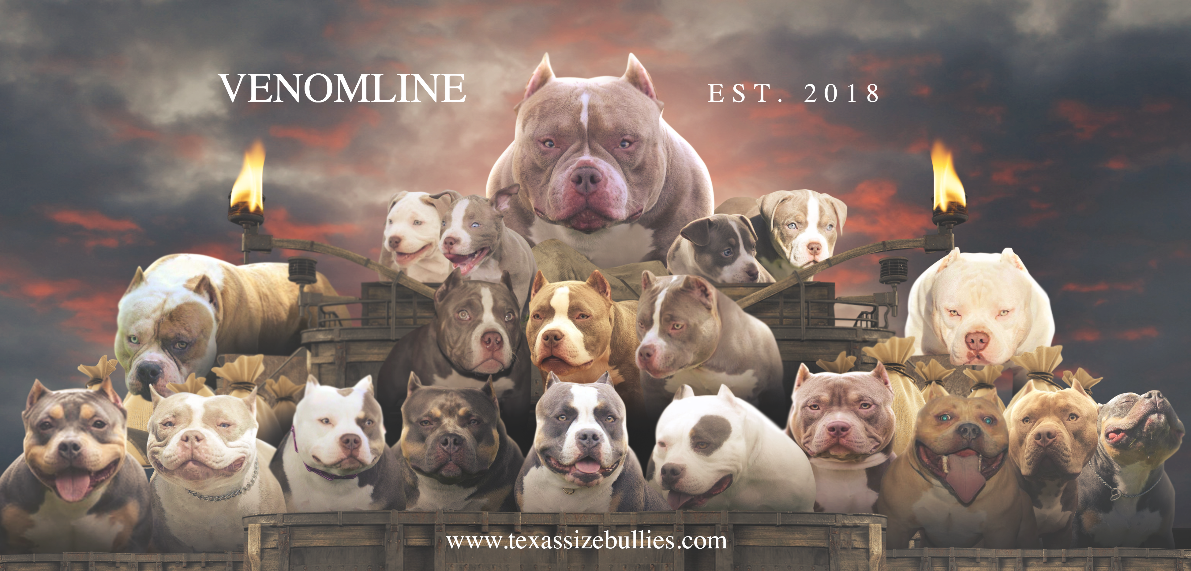 TOP AMERICAN BULLY BLOODLINE: VENOMLINE - Venomline - Medium