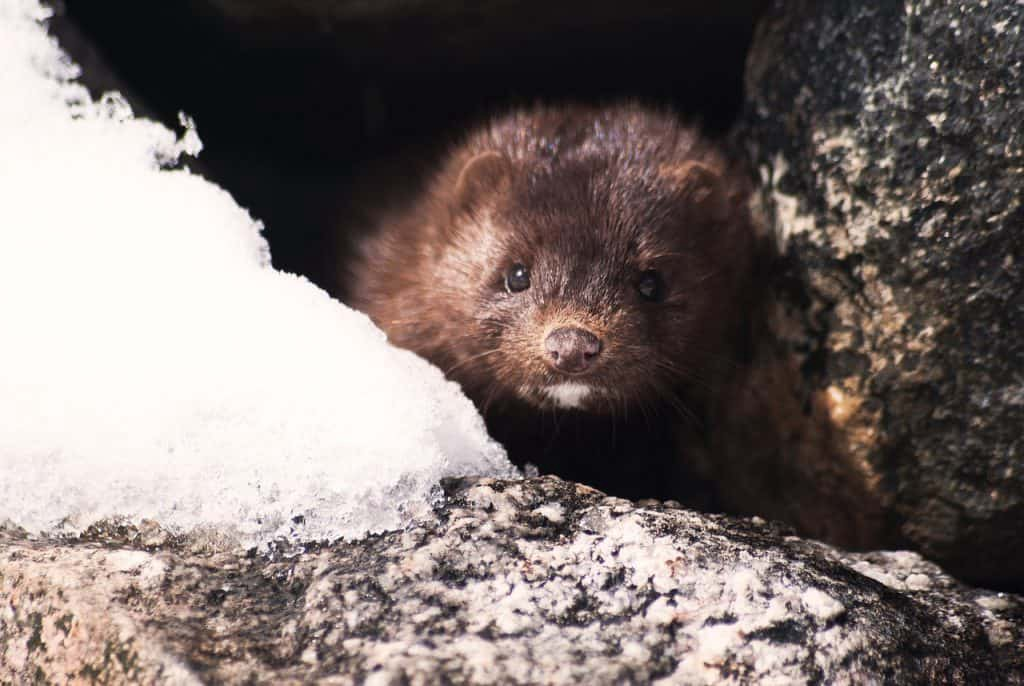 Do minks eat chickens — mink attacking chickens - An