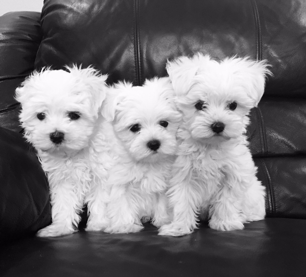 Interesting Facts About Maltese Puppies By Cathys Maltese Medium