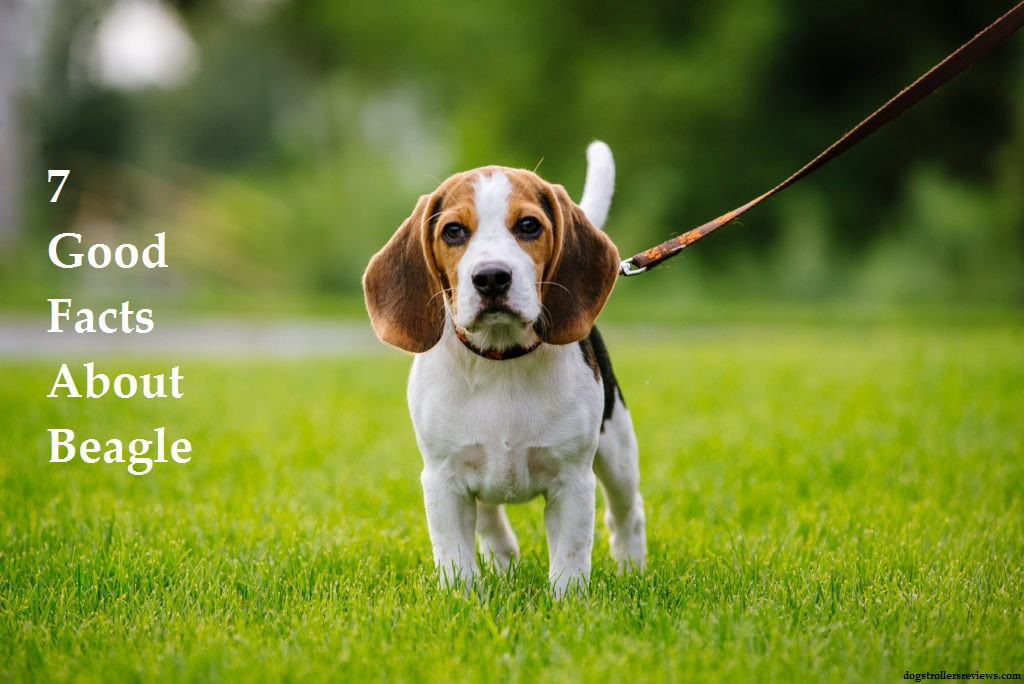 7 Facts About Beagle Dog