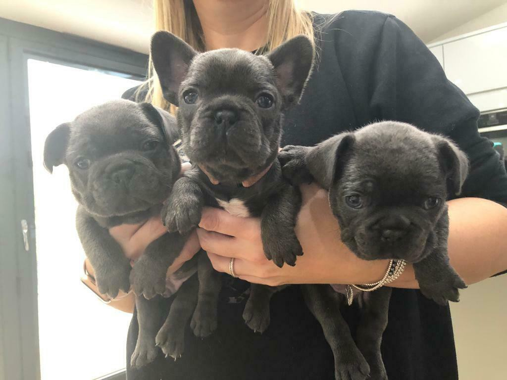 French Bulldog Puppies For Sale I Am Proud To Announce The Safe Arrival By Royal Dream Frenchies Medium
