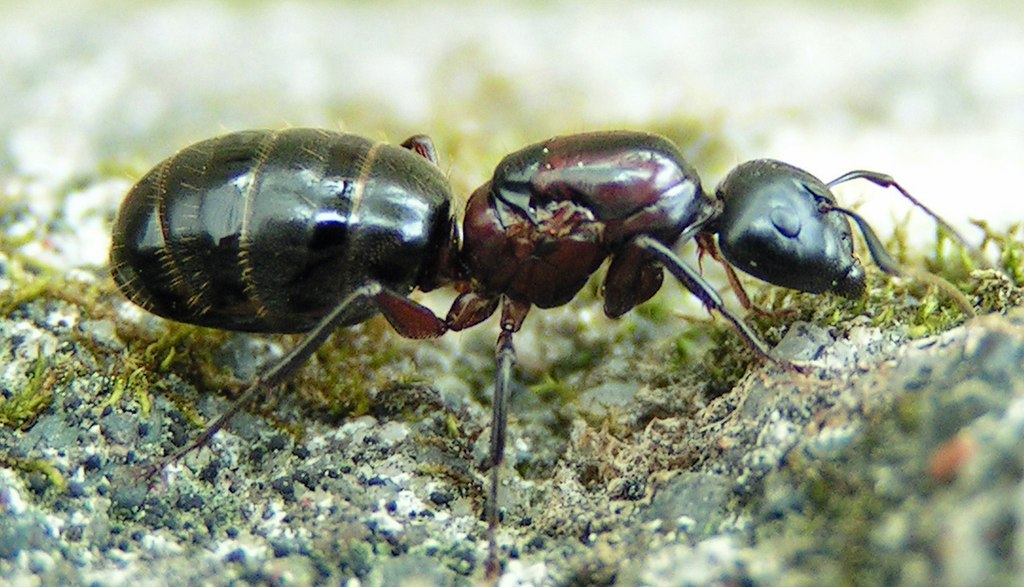 Sugar Ants Vs Carpenter Ants Identifying Between Sugar Ants And By The Pest Advice Dan Crosfield Medium