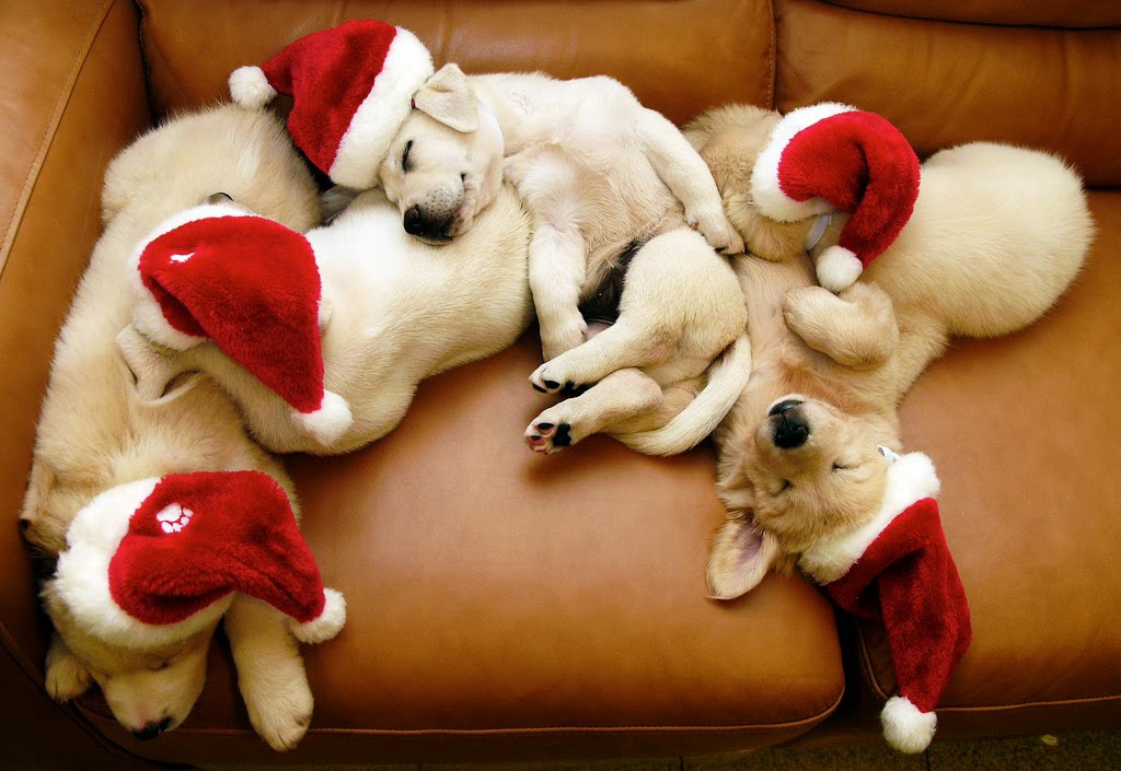 Christmas Puppies.Christmas Puppies For Sale Substance