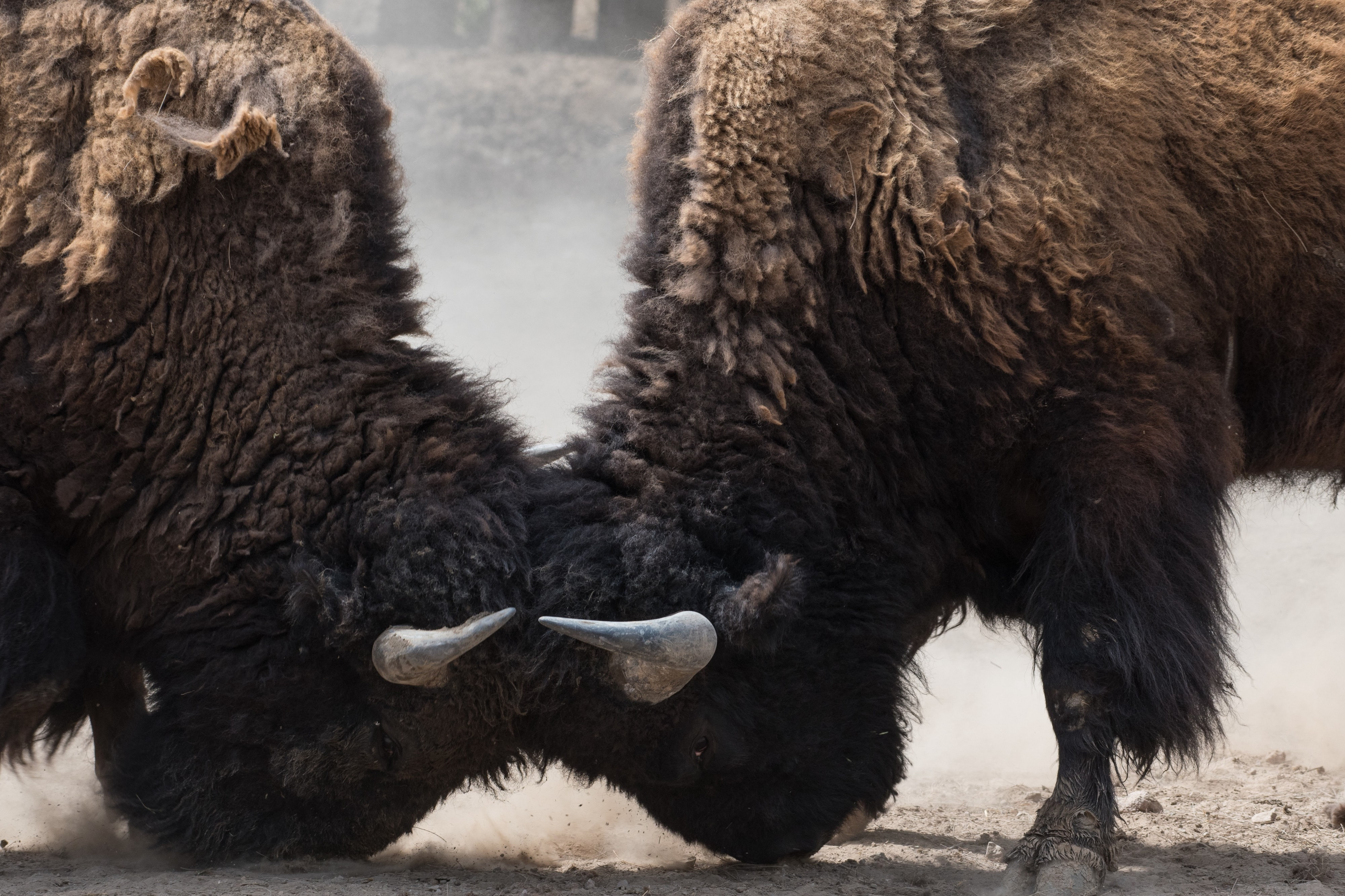 Two bisons butting heads