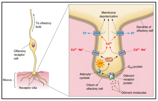 A schematic view of the membrane depolarization process for olfactory receptor cells.