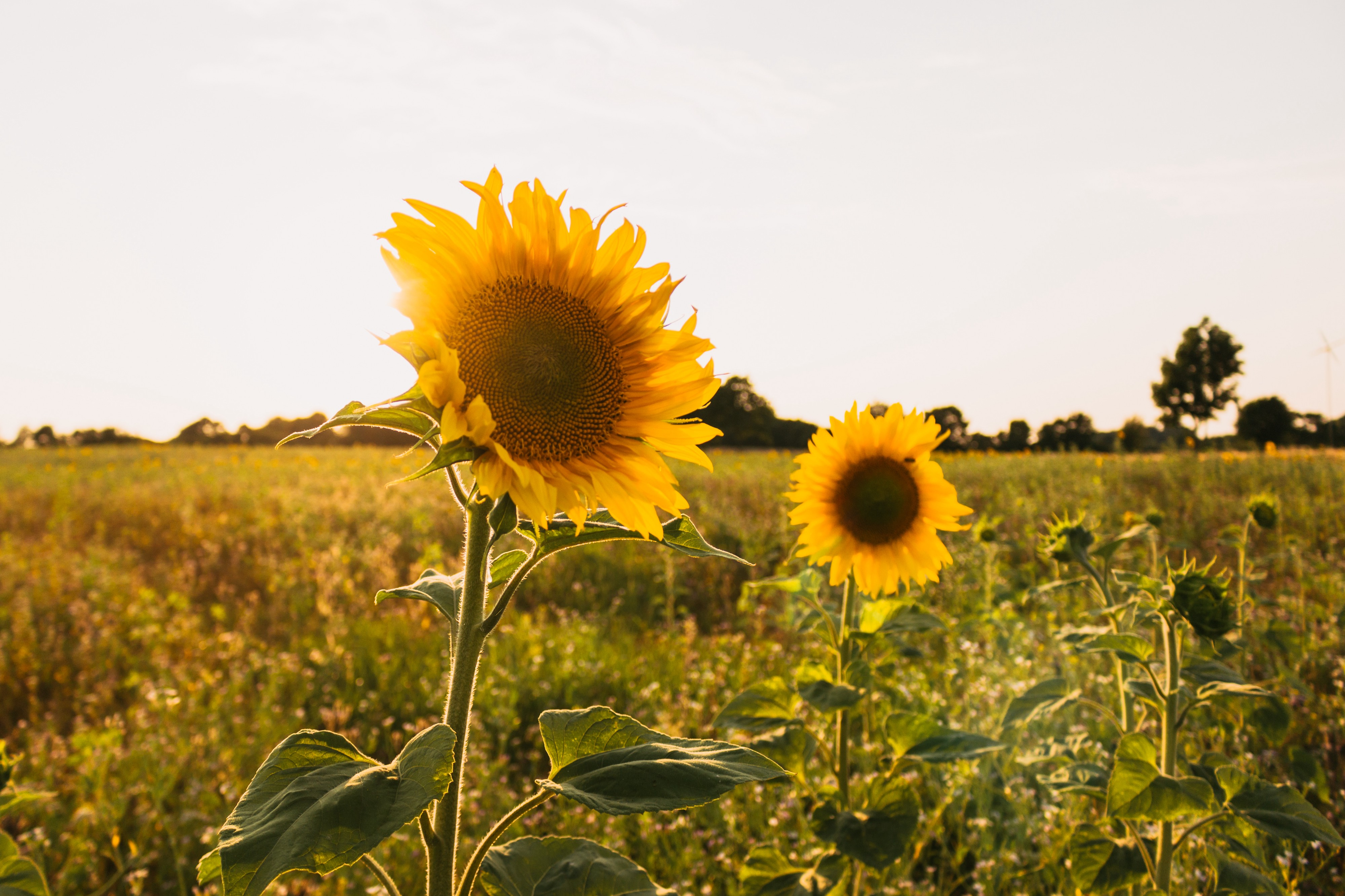 image of two sunflowers in a grassy field