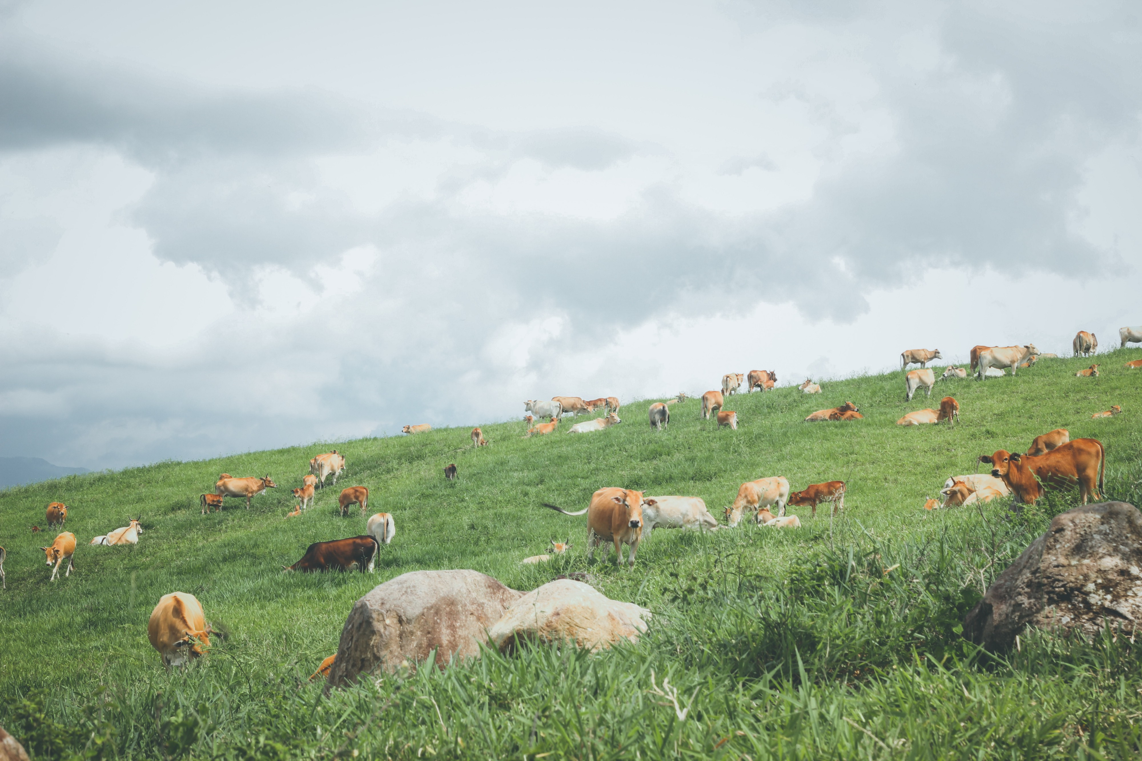 Brown and white cattle grazing in the long grass on a lush hillside on a cloudy day.