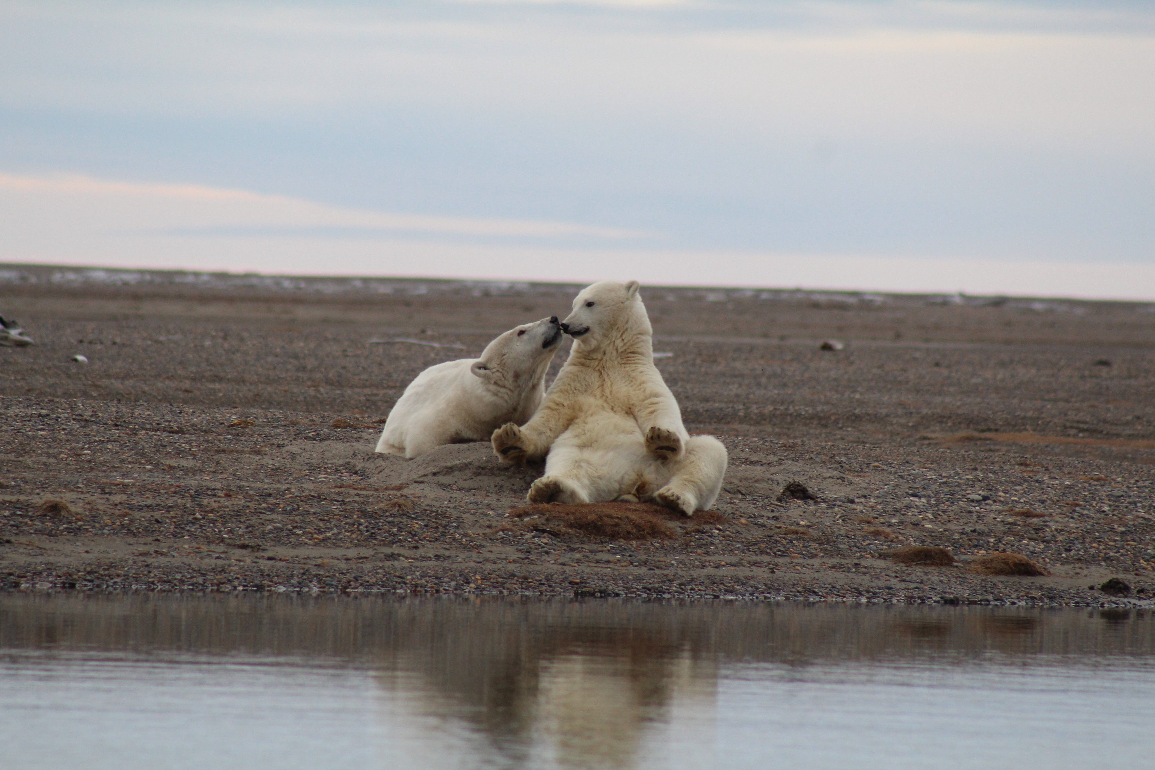 An adult polar bear sits on its haunches and touches noses with a cub sitting nearby.