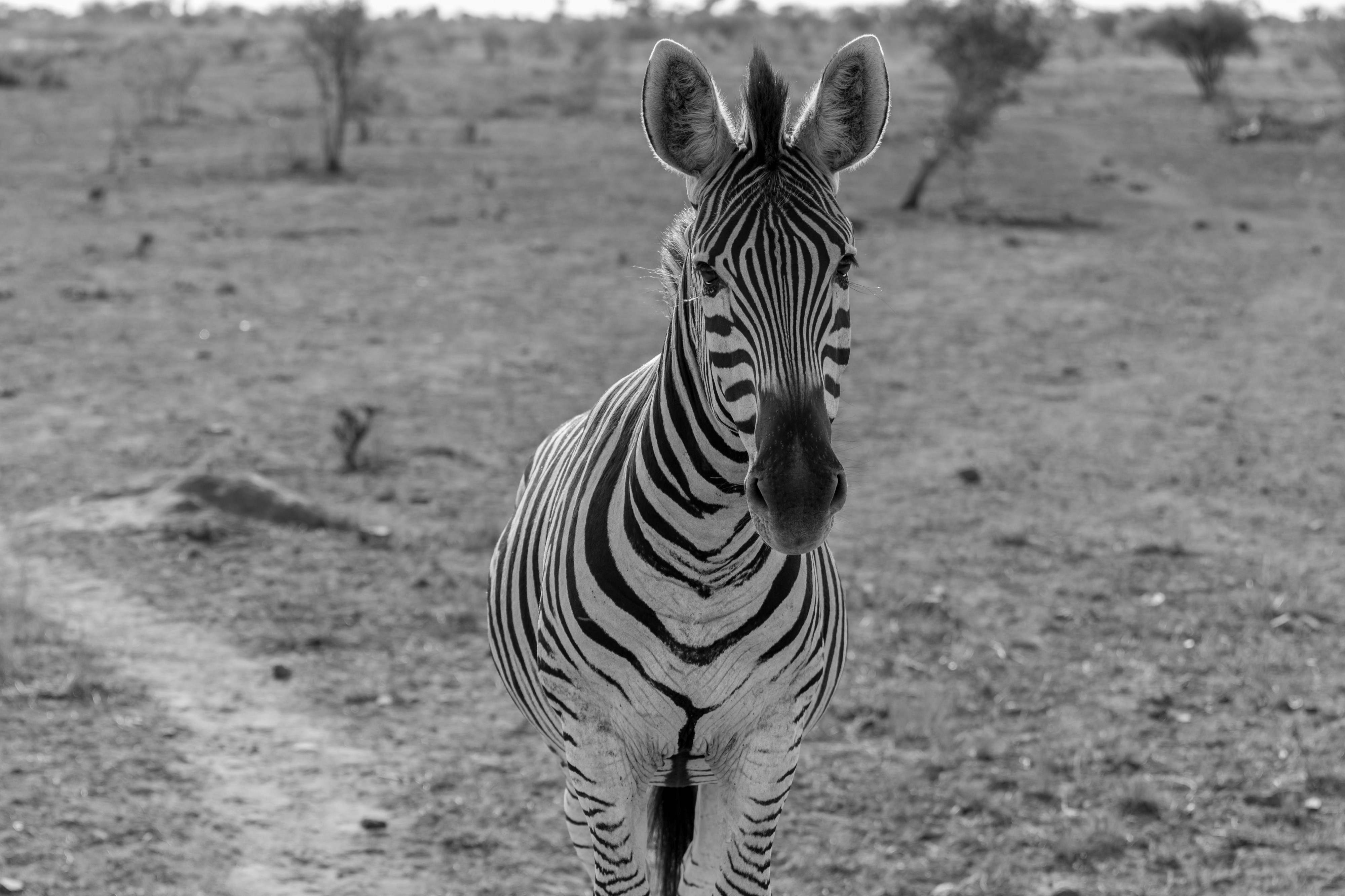 Black and white picture of a zebra looking straight into the camera in a grassy field.
