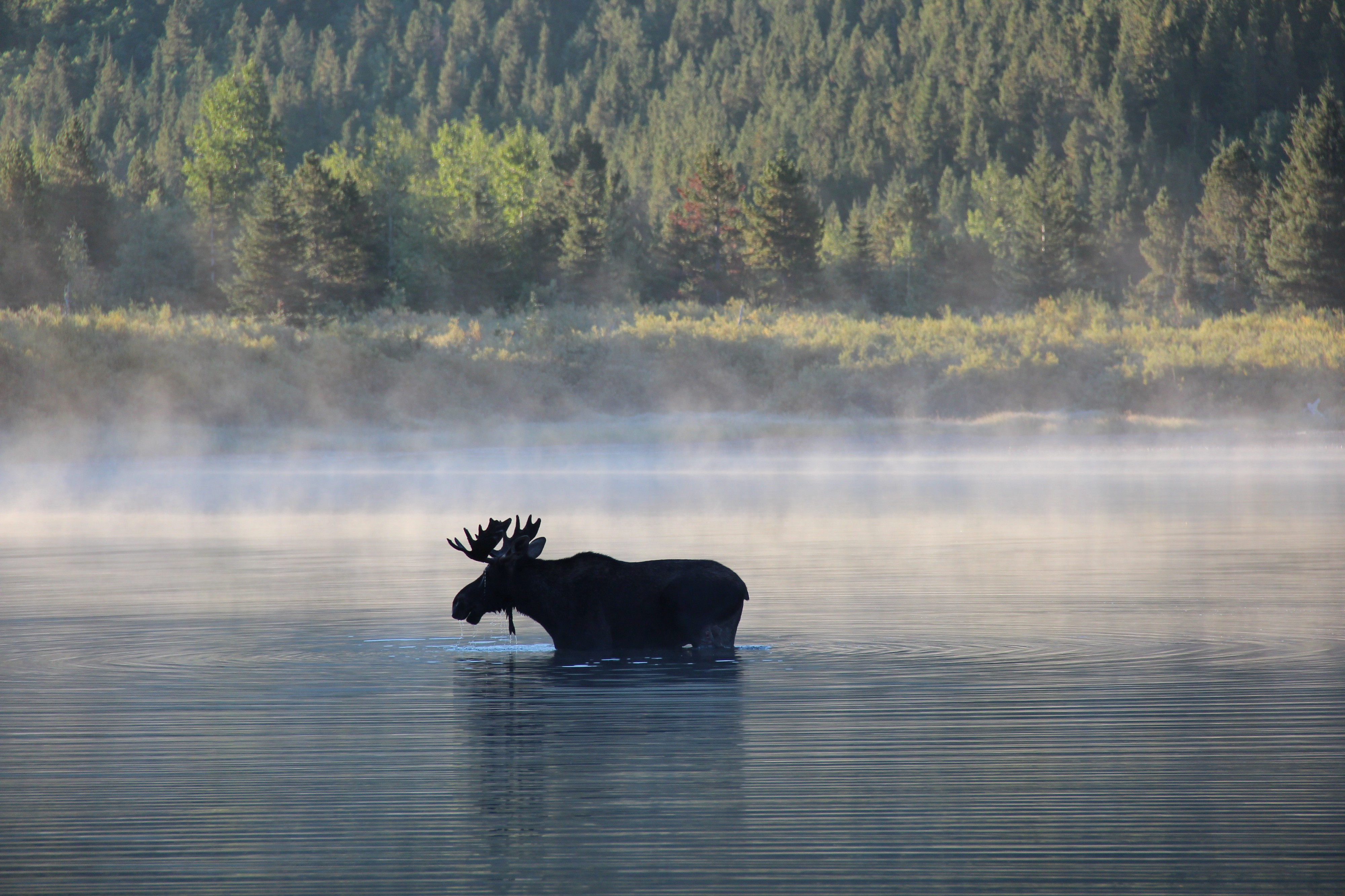 A bull moose walks in the shallows of a lake with mist rising from the water.