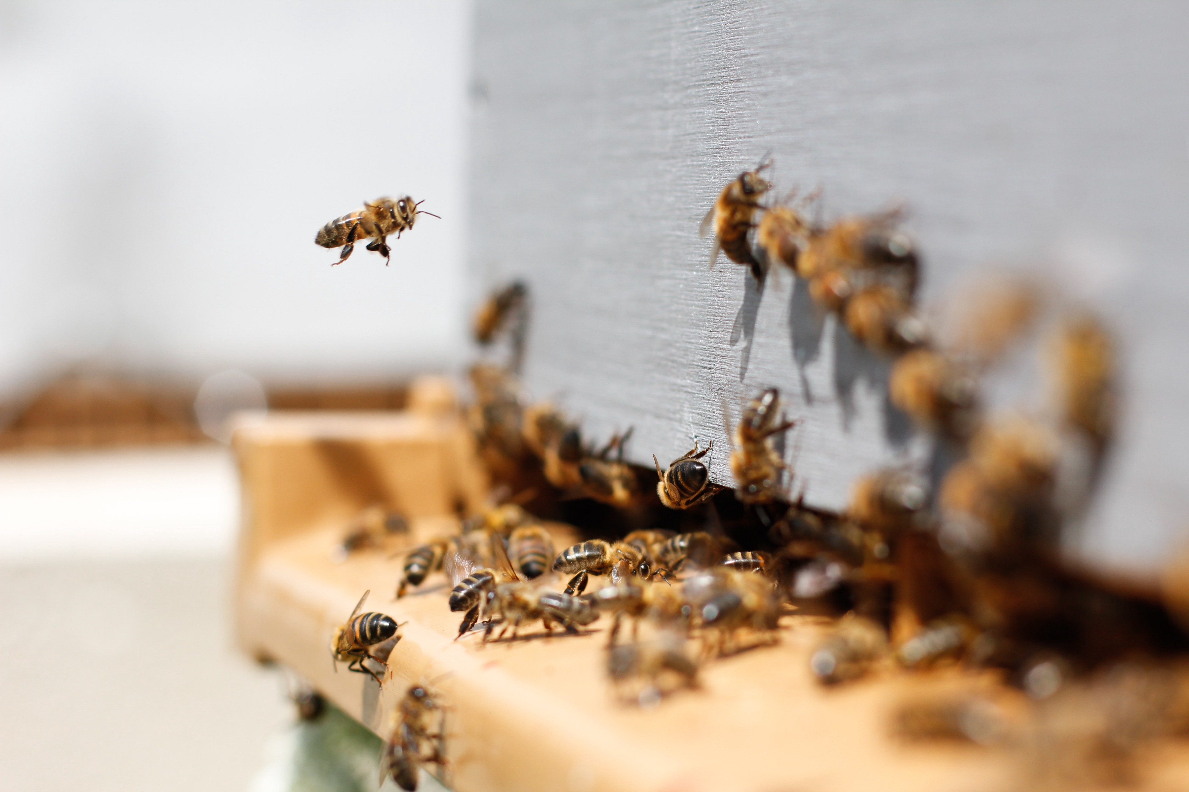Bees flying into a hive
