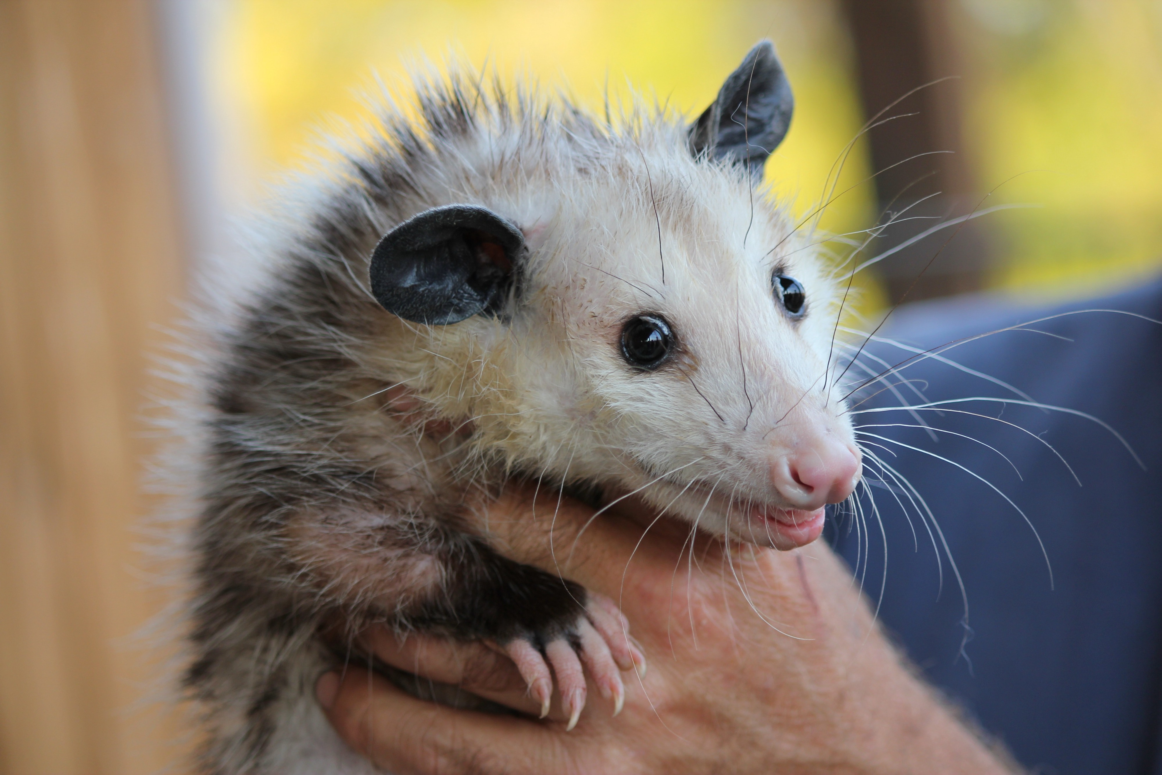 A Possum's Guide to Making Friends & Influencing People