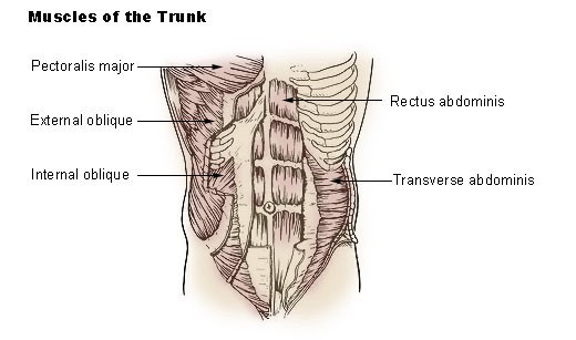 An anatomical drawing of the muscles of the trunk.
