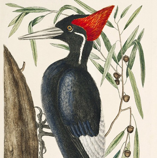 Ivory-billed Woodpecker by Mark Catesby, 1754