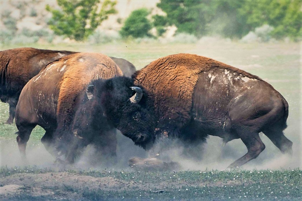 Image of Bison fighting on an open plain