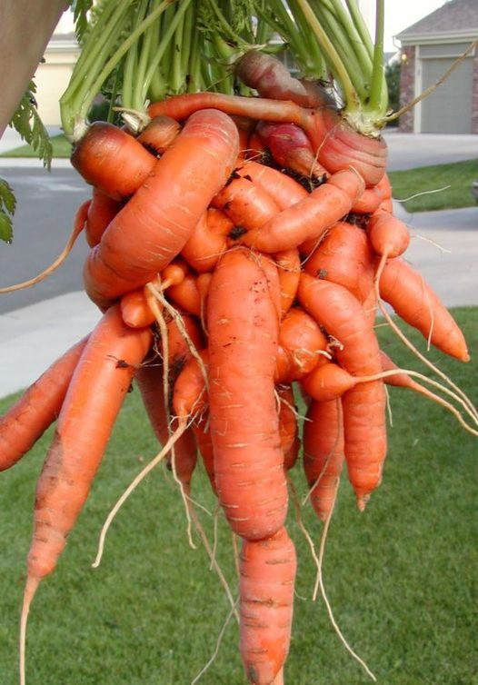 Entangled bunch of carrots