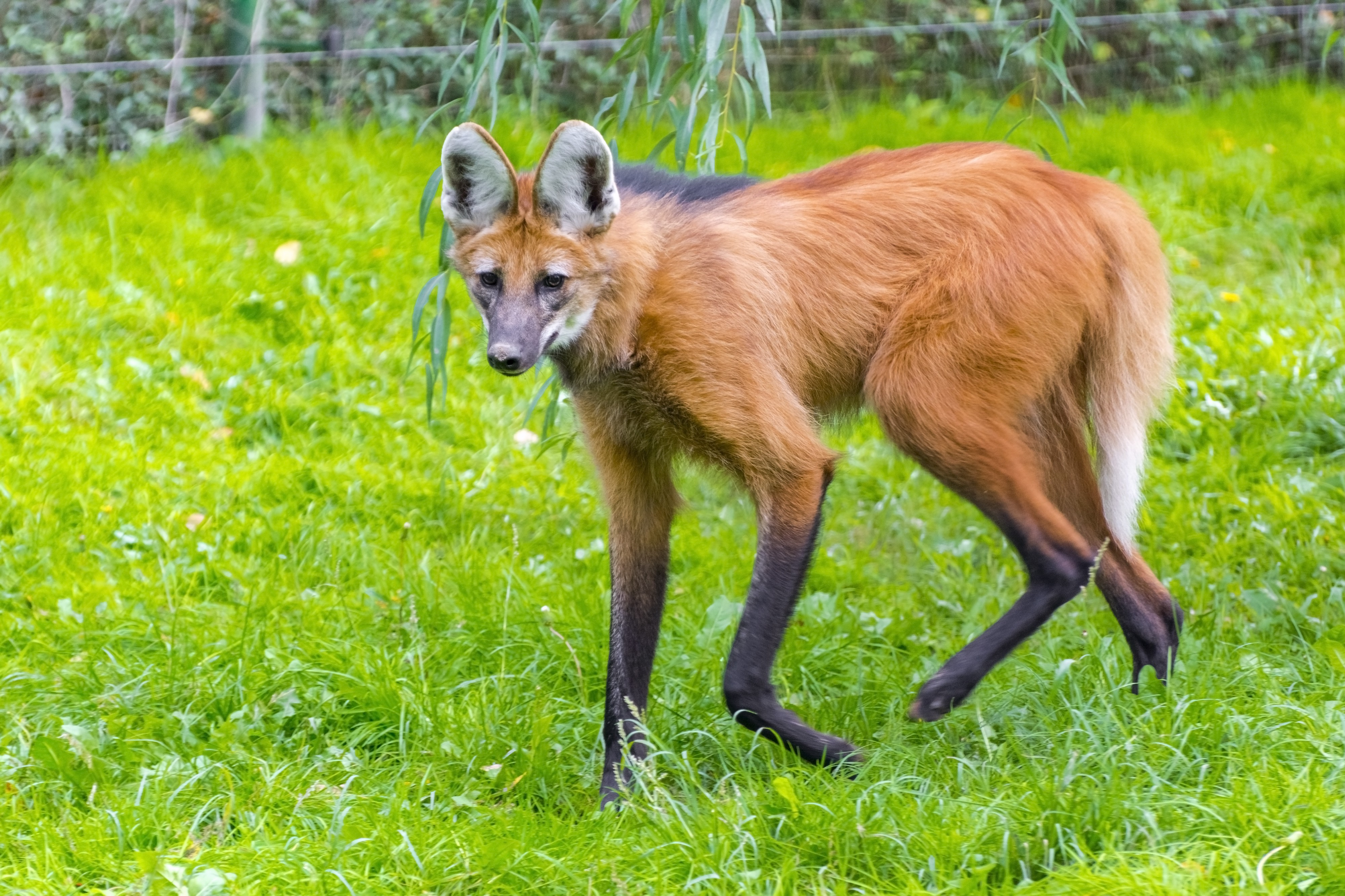 a wild canine with reddish fur and very long, skinny legs that look dipped in black