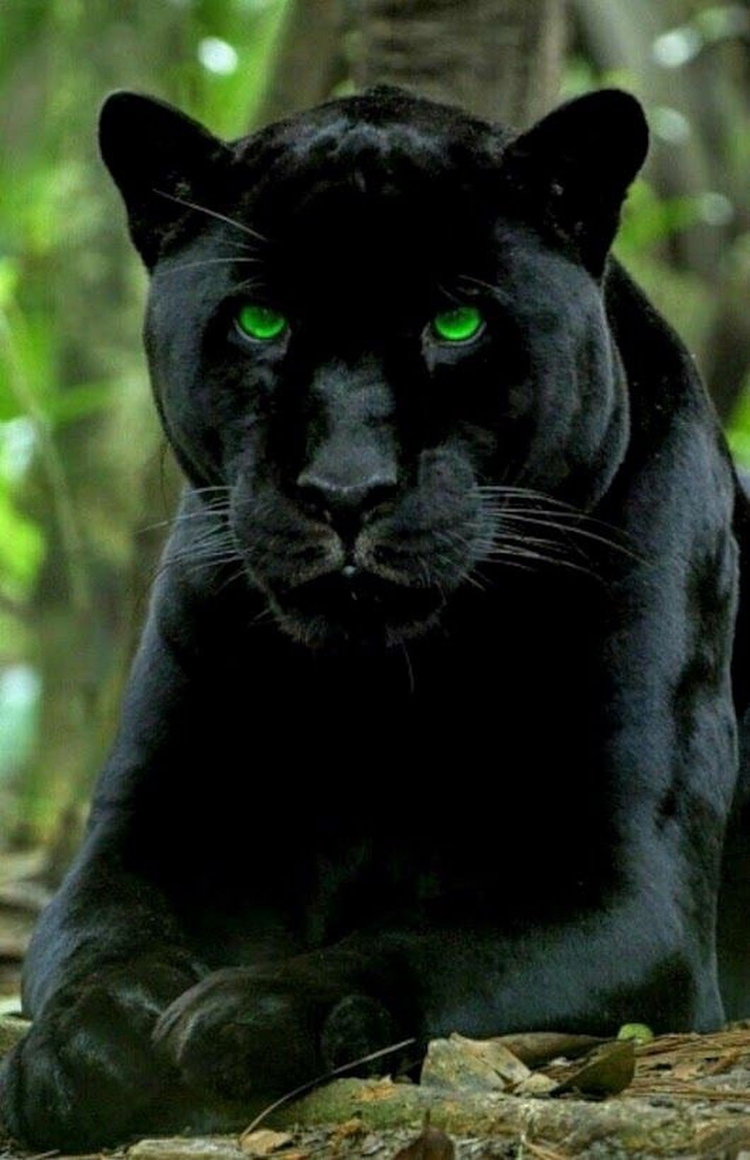 Claws A Mysterious Black Jaguar Is Terrorizing Up Country Maui By Janet Lee Six Phd Medium