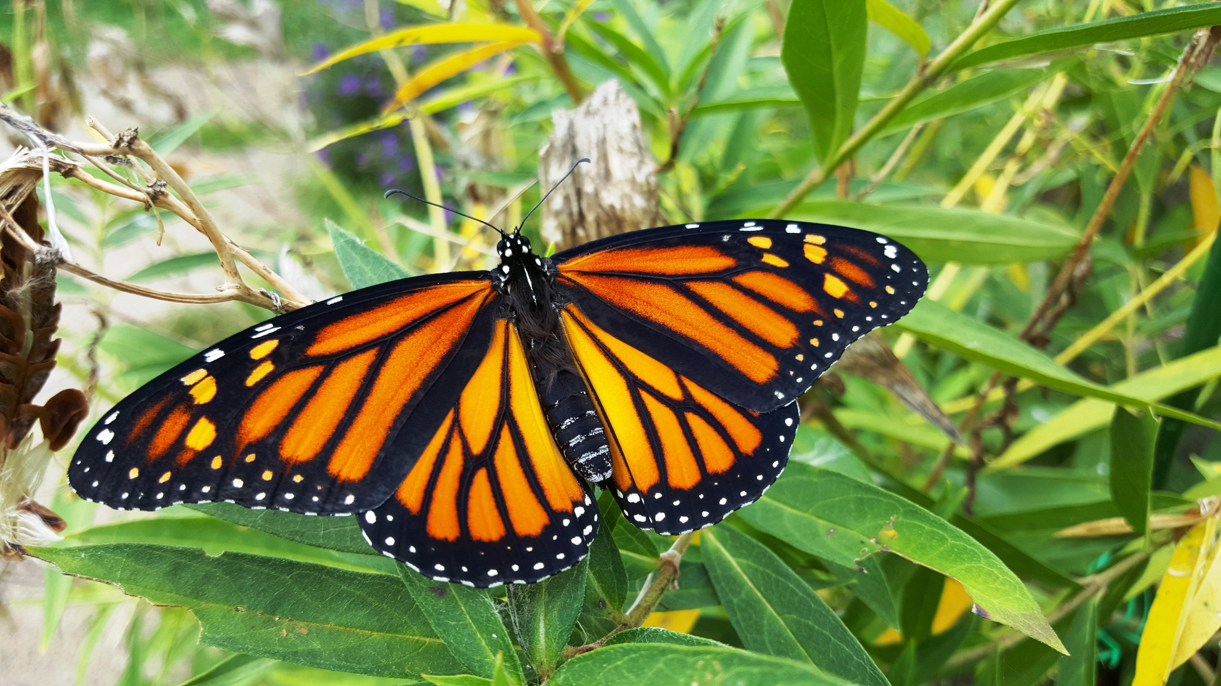 7 Tips For A Successful Monarch Butterfly Pollinator Garden