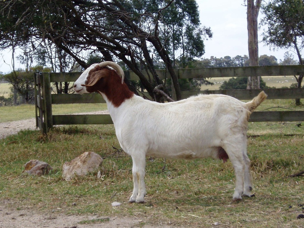 54 X Boer Goat Ewes For Sale Patrick Willibroad Medium