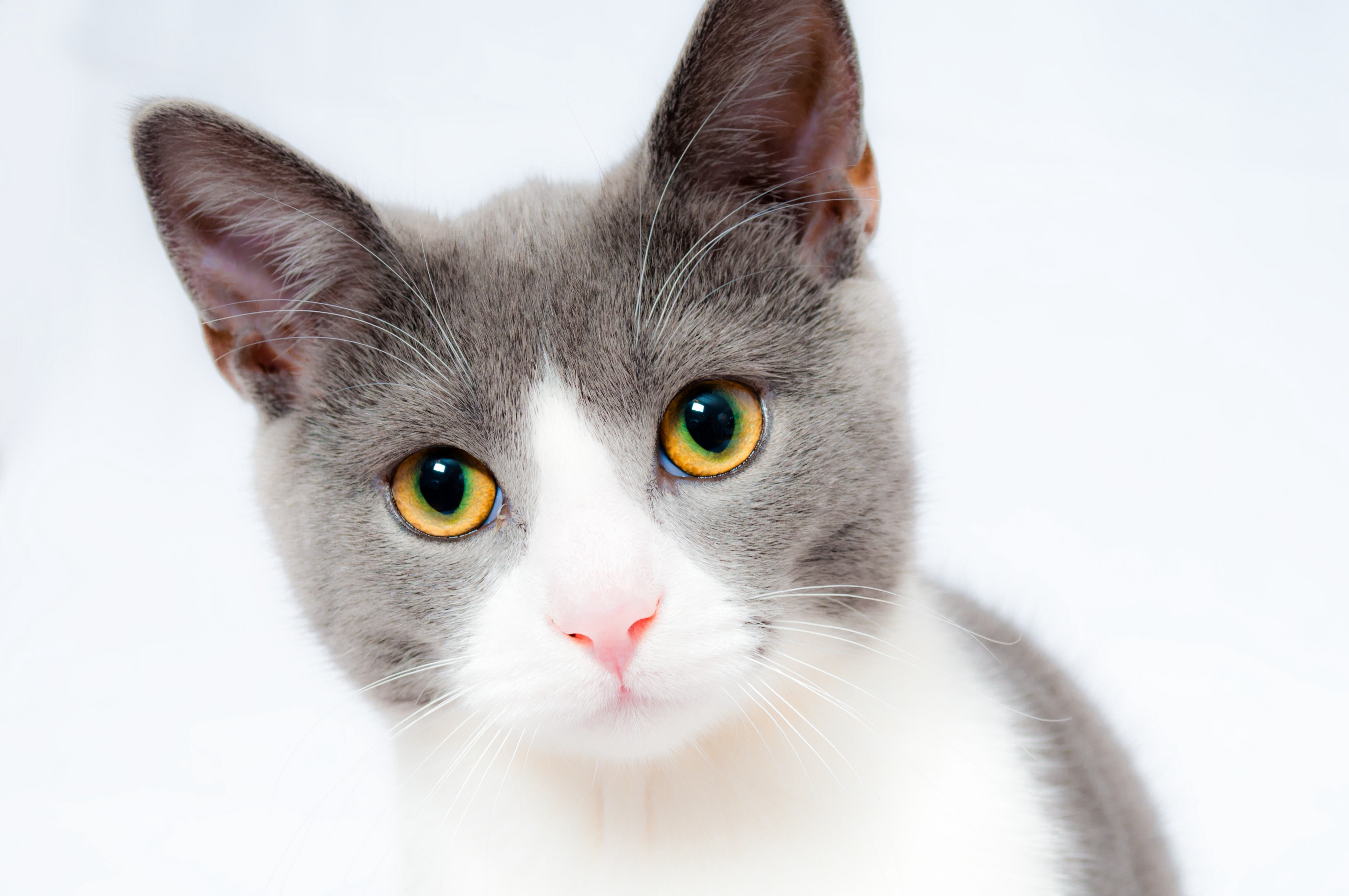 grey-and-white-short-fur-cat