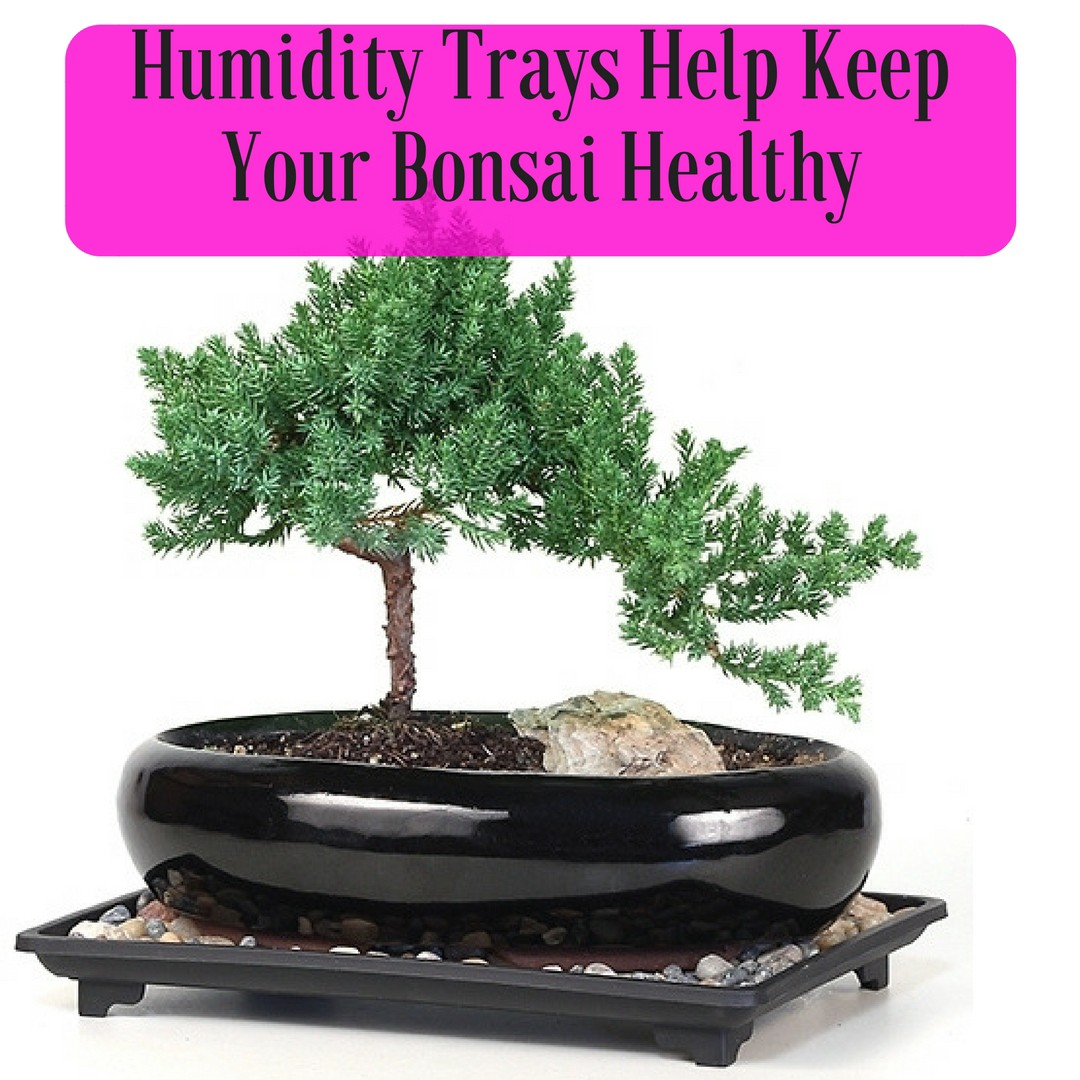 Looking For Bonsai Trees In Houston We Have Them Maybe By American Florist Associat Medium