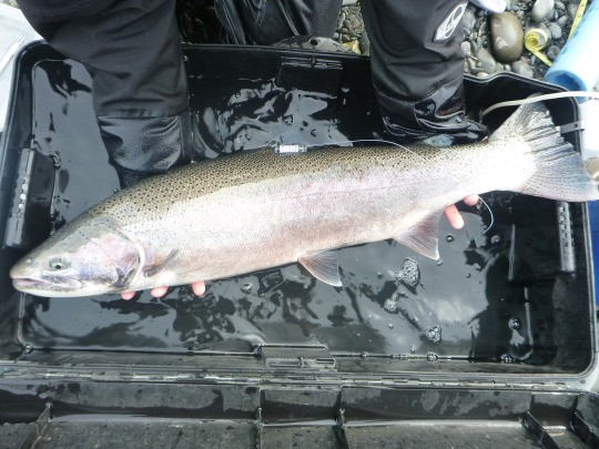 Photo: Tagged steelhead on the Elwha River, Credit: Olympic National Park