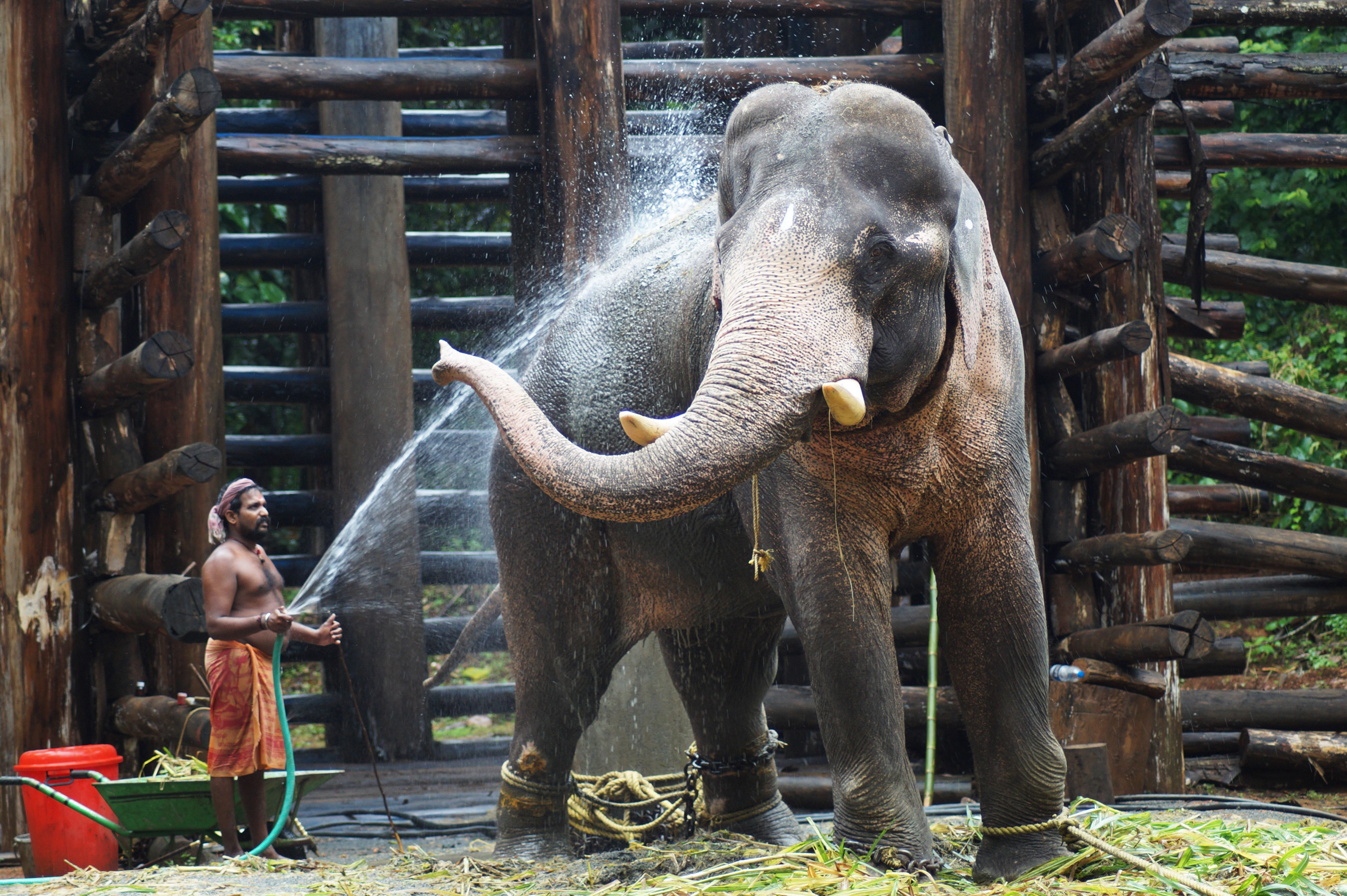 Chained Elephant in Kodanad, India