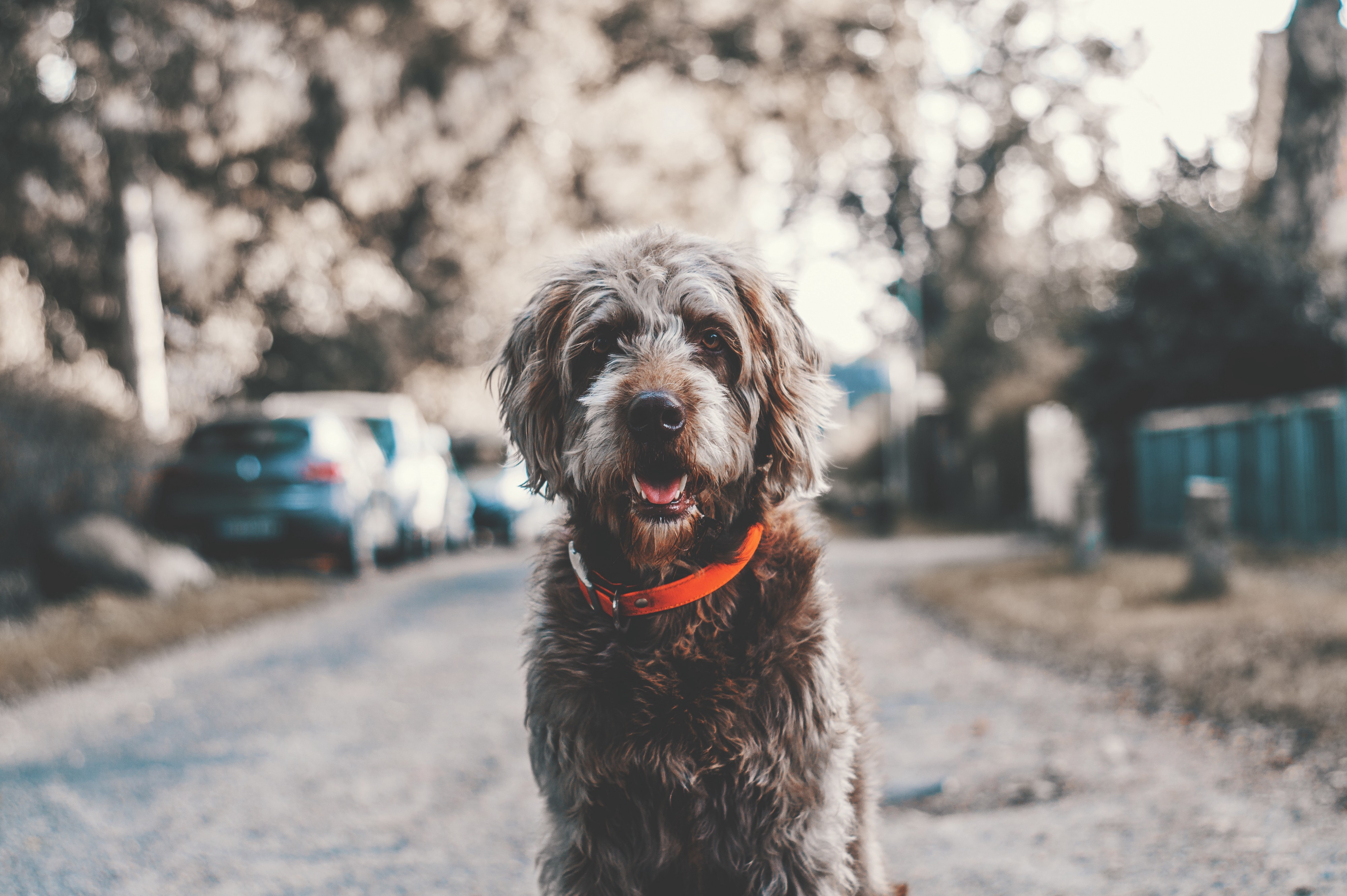 Why Labradoodles Make Better Pets