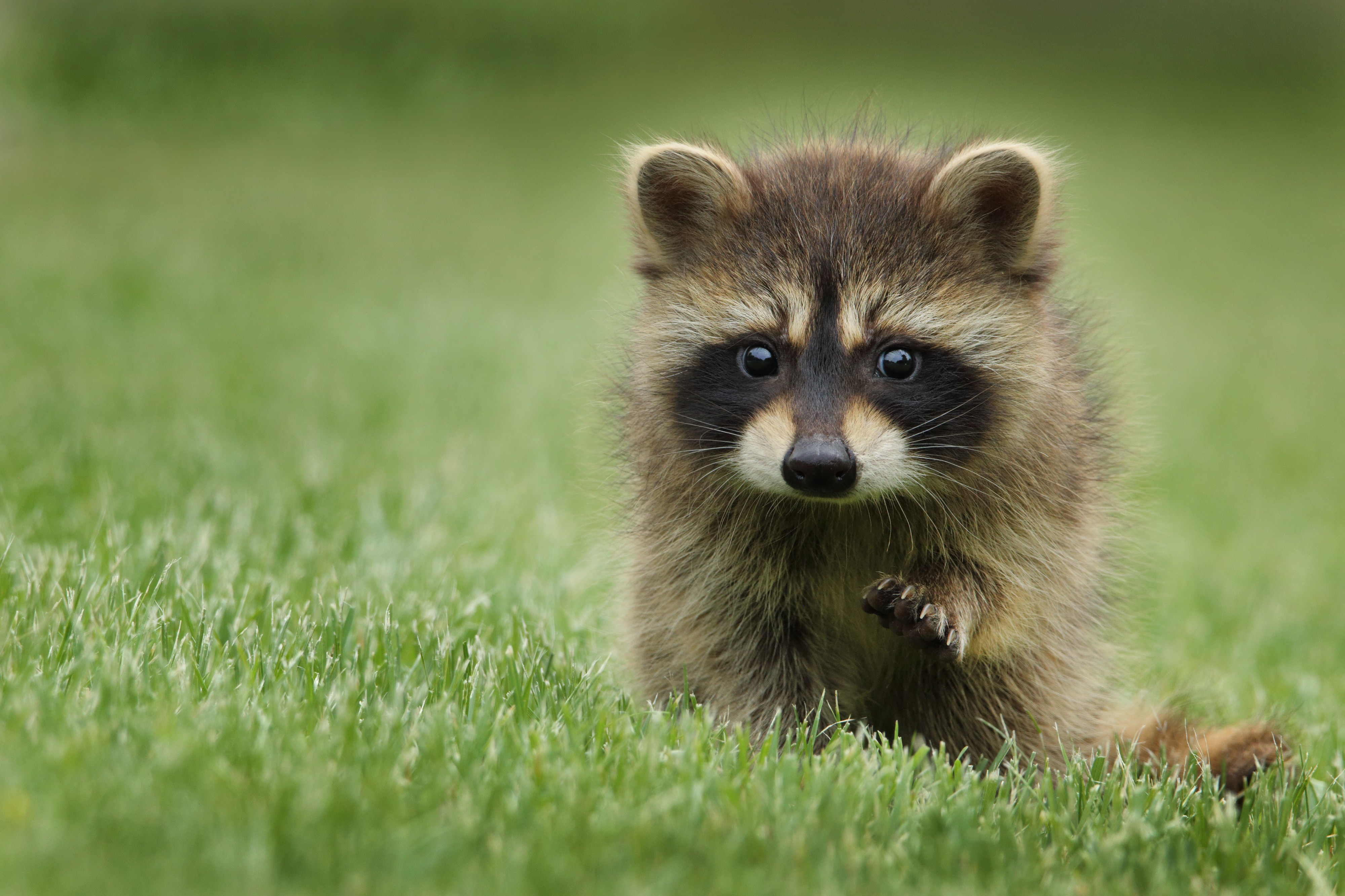 A very cute baby raccoon with one paw outstretched, looking slightly concerned towards the camera