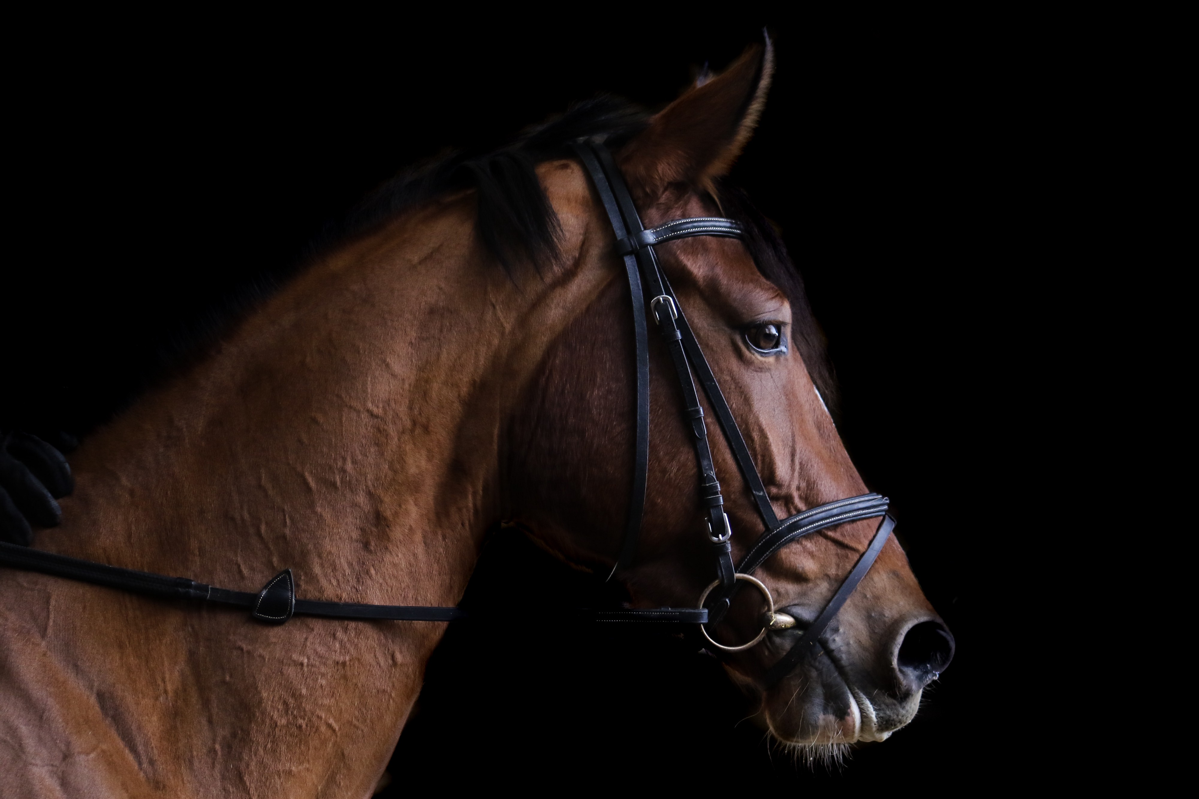 horse and bridle in profile