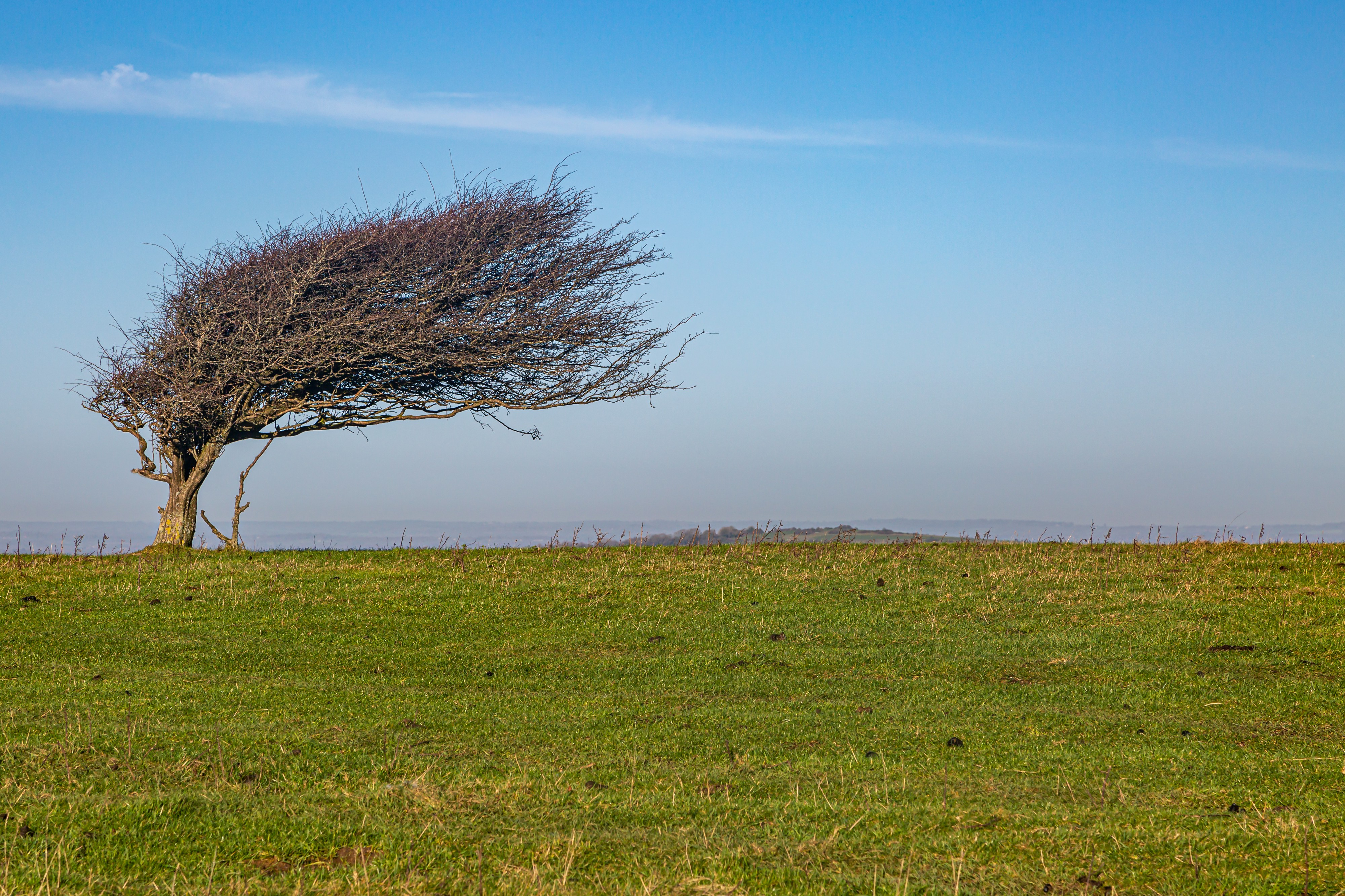 A tree shaped by the wind